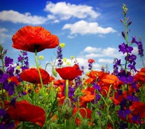 poppy-field-wild-flowers-poppy-field-poppies-flower-summer-bloom